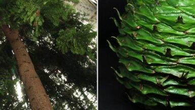 LU Botāniskajā dārzā Bidvila araukārija pārsteigusi ar 900 gramus smagu čiekuru