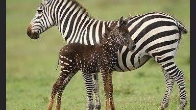 ВИДЕО. В Кении родилась необычная зебра