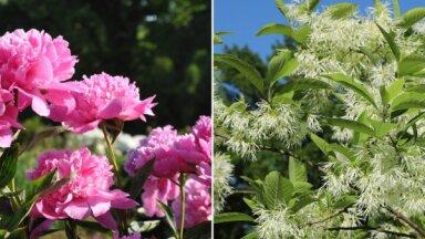 ФОТО. В Национальном ботаническом саду в Саласпилсе вовсю цветут пионы и тюльпанное дерево