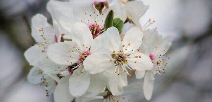 Уход за вишней весной: как вырастить здоровое и красивое дерево
