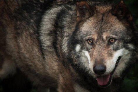 Latvijā noslēgusies vilku jaktes sezona; nomedīti atļautie 280 vilki