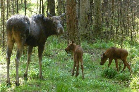 Идея для выходных: увидеть четырех новорожденных лосят