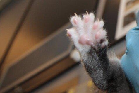 Anglijā piedzimuši neparasti kaķēni, kuriem ir 26 pirksti