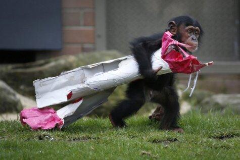 Pasaules zoodārzi Ziemassvētkos sveic dzīvniekus