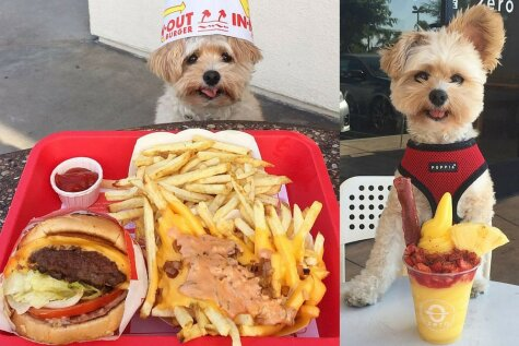 Собака-гламуряка: питается в ресторанах и выкладывает фоточки еды в