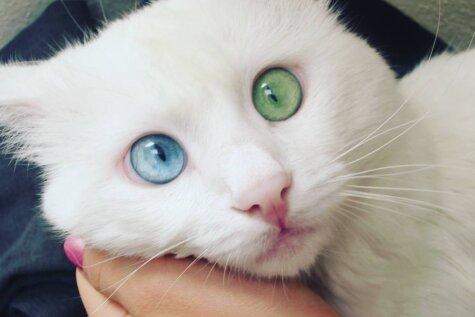 Синий? Зеленый! Этот кот с разноцветными глазами прекрасен так, что сил нет