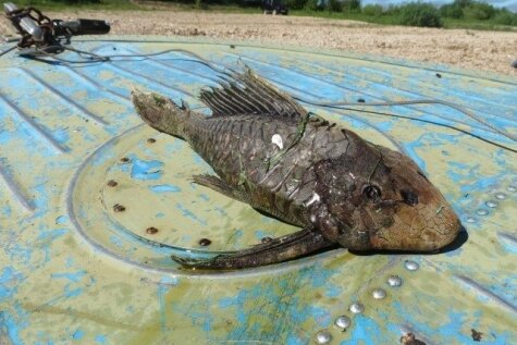 Krievijā noķerta dīvaina zivs ar bruņurupuča galvu