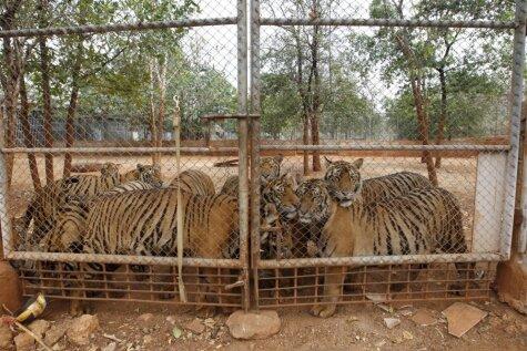 Ieskats pretrunīgi vērtētajā Taizemes tīģeru templī