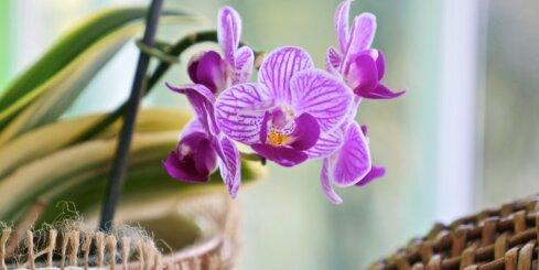 Orhideju izstāde Botāniskajā dārzā