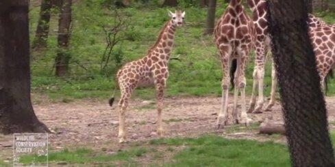 Bez komentāriem: Žirafes mazulis sper pirmos soļus