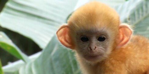 Singapūrā pērtiķi priecājas par zoodārza sagādātajiem našķiem