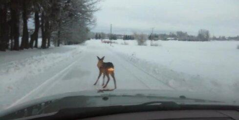 Autovadītājs pierunā stirnu pamest ceļu