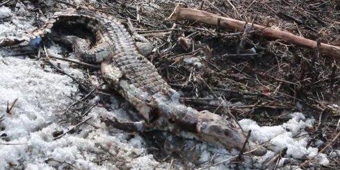 Čuvašijas skolēni izgāztuvē atrod beigtu krokodilu