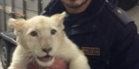 Itālijas policista negaidītā tikšanās ar lauvēniem