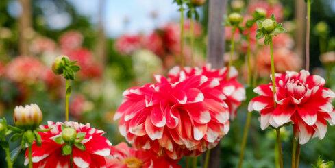 Botāniskajā dārzā zied dālijas
