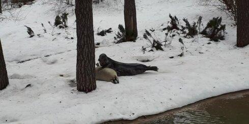 Zooloģiskā dārza viesi kļūst par lieciniekiem roņu bērna barošanai