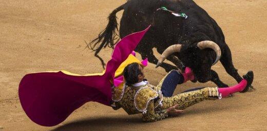 ВИДЕО: Бык распорол мошонку мексиканскому тореадору
