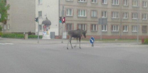 Ko agrā rītā Ventspils centrā darīja alnis?