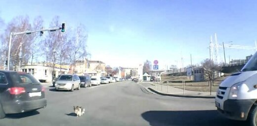 Rīgas centrā mazs suņuks rada transporta sastrēgumu (video)