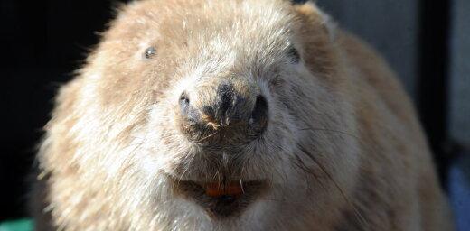 История дня. Бобры начинают, а кабаны выигрывают: как дикие животные завоевывают Латвию