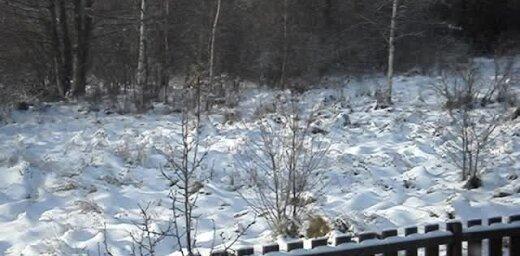 Video: Pārdrošs lapsu kūmiņš viltīgi izlavās no meža