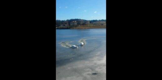 Video: Gulbji ledū cērt ceļu pēc barības