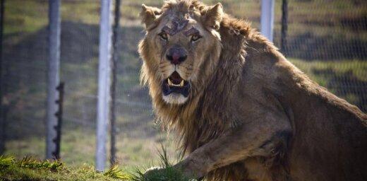Скончался лев Лео, 15 лет друживший с тигром и медведем