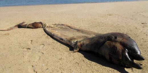 Foto: Pie Namībijas krastiem izskalots neparasts radījums