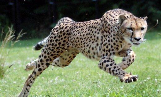 Скорость животных зависит отихразмеров— Ученые