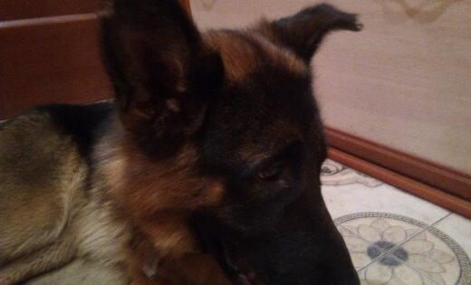ФОТО: Хозяин, отзовись! В районе монастыря найден щенок немецкой овчарки