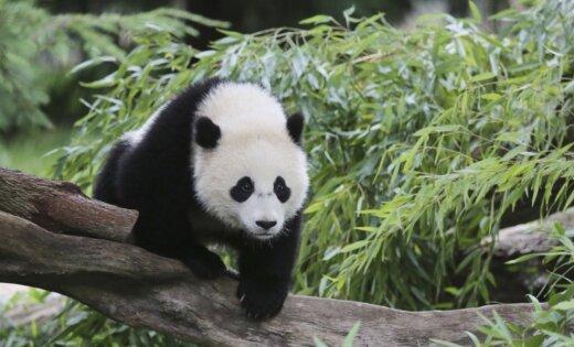 Размещено видео нападения панды на гостя зоопарка вКитайской народной республике