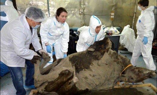 Sahas zinātnieki operē 9000 gadus vecu bizonu
