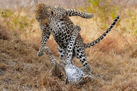 Video: Cik bargi kopojas Āfrikas leopardi