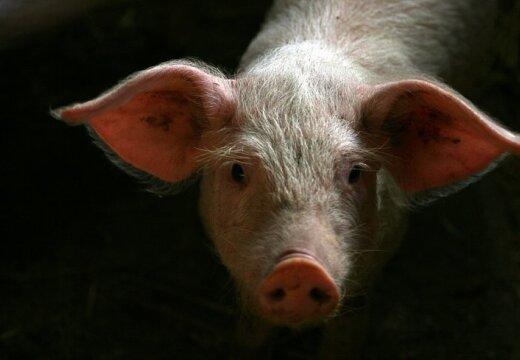 Американского фермера съели его собственные свиньи