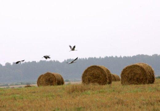 В Латвии началась миграция перелетных птиц, и одними из первых к местам зимовки отправились белые аисты, рассказал...