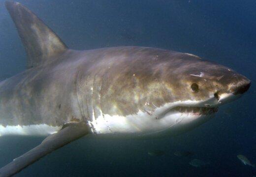 Новая Зеландия: впервые за 40 лет акула убила человека