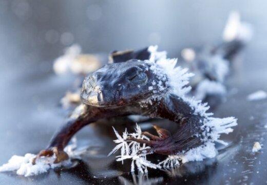 В заледеневшие озера Норвегии вмерзают жабы и лоси