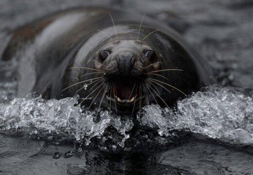 Голландские ученые: тюлени опасны для дельфинов и людей