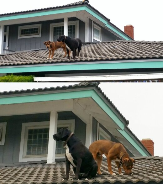 Suns uz siena kaudzes? Ne gluži...