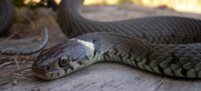 Змеи в городе: как вести себя при встрече с ползучим гадом