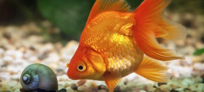 Жадная, красивая, ласковая. Семь фактов о золотых рыбках