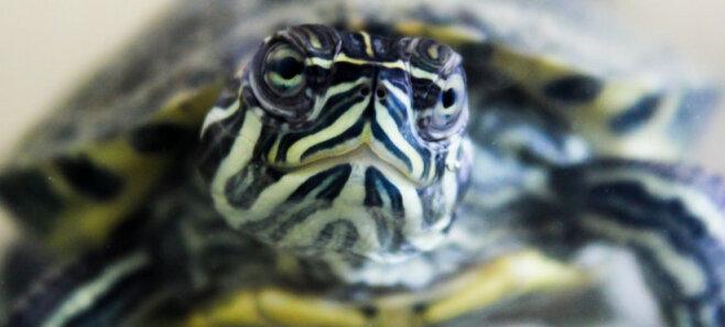 Можно ли в Латвии купить сухопутную черепаху?