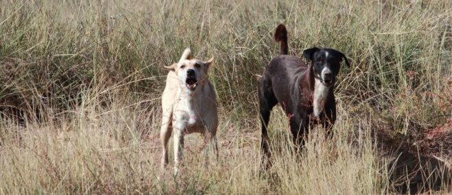Kā rīkoties, ja tuvojas nikns suns?
