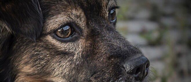 Suņuks Reksis no Smiltenes mērojis vairāk nekā 20 kilometrus un atgriezies mājās