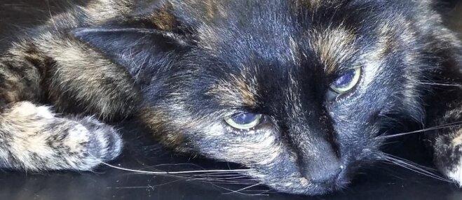 Meklē mājas: kaķenīte, kurai nesen veikta operācija