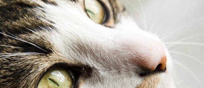 Laužam mītus par kaķiem! Apgalvojumi, kuriem nevajag ticēt