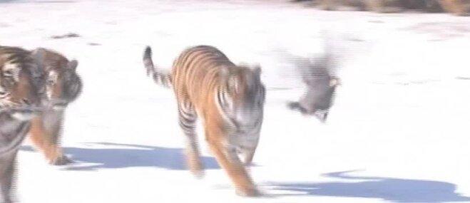 Aizraujošs video: Tīģeri Ķīnā ķersta dronu