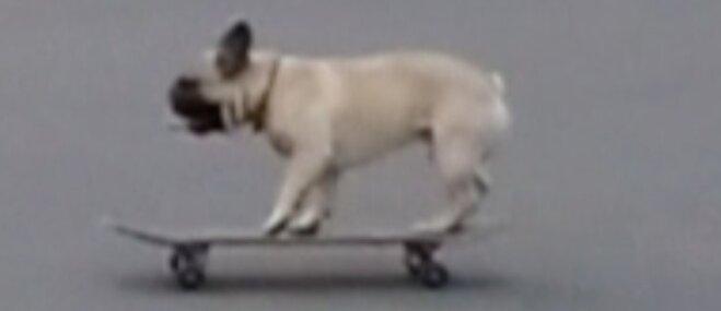 Amizants video: Sportisks franču buldogs vizinās ar skrituļdēli