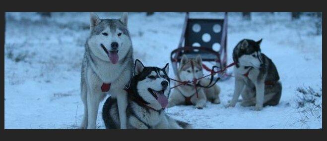 Jautrie biedri - sniega suņi. Kur Latvijā var doties aizraujošā izbraucienā suņu pajūgā?