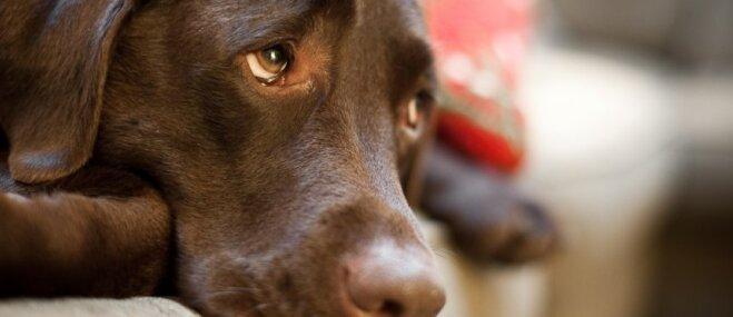 Kāpēc mājdzīvniekiem nevajadzētu dot šokolādi